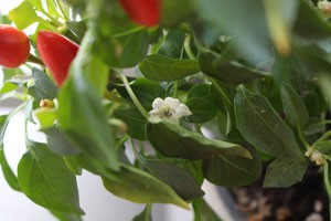 chili_blomma