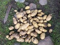 Skörd-av-potatis-2015-07-21